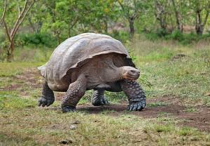 800px-Giant-Tortoise-Santa-Cruz