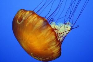 jelly-fish-800px-Monterey